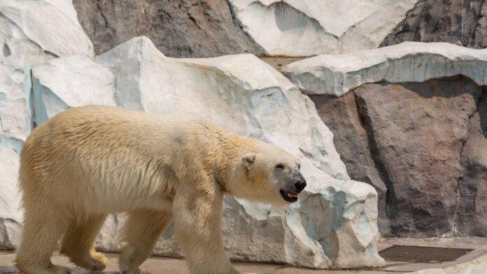 Polar Bear at Ueno Zoo Tokyo