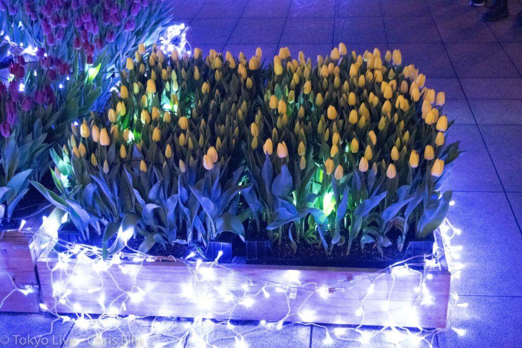 Enoshima Illumination Tulips