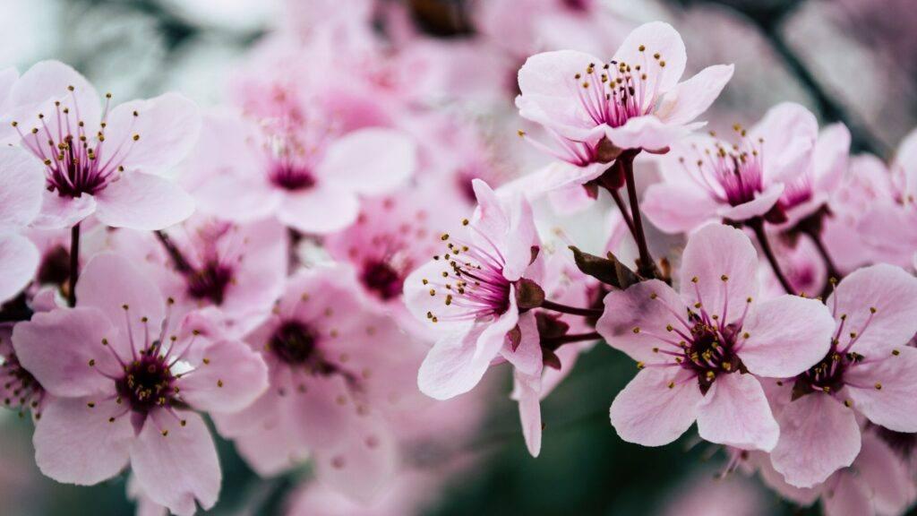 Tokyo Area Cherry Blossom Sites
